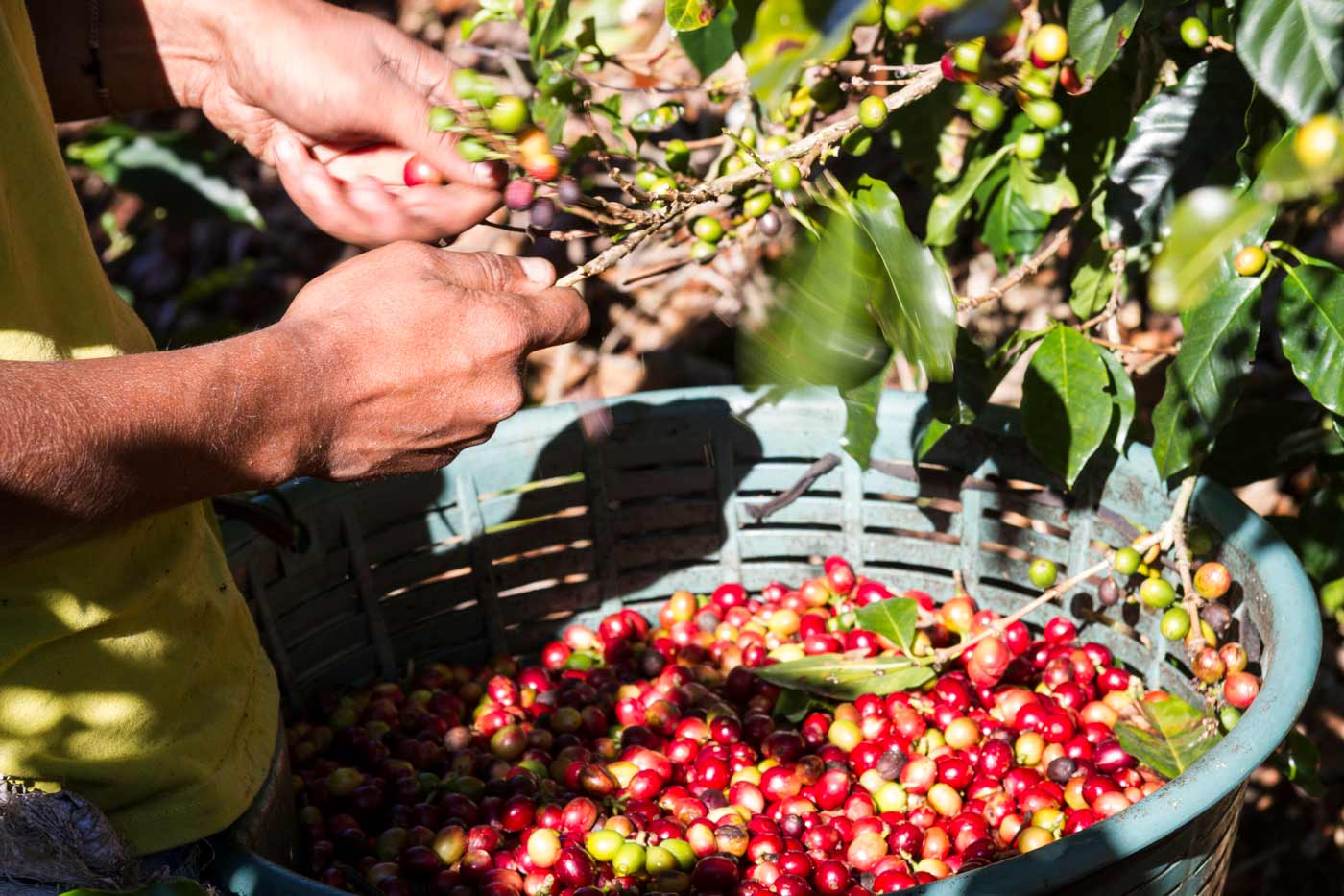 guide to coffee beans, coffee cherries